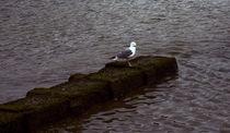 Seagull by Fernando Cesar