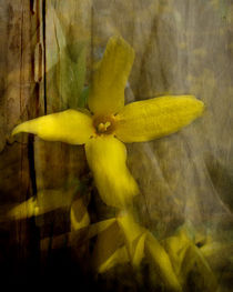 Forsythia by Mathias May
