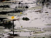 Lotus Pond by Satish Nair
