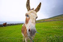 Dingle Donkey von Philip Cozzolino