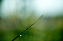 Dew drops von Maksim Kuzmin