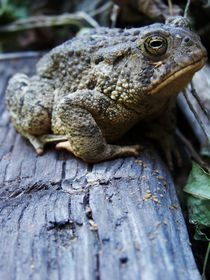 Senor Toad III by Shaelene Love-Chezem