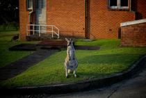 Urban Kangaroo by Tim Leavy