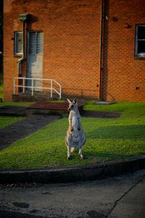 Urban Kangaroo von Tim Leavy