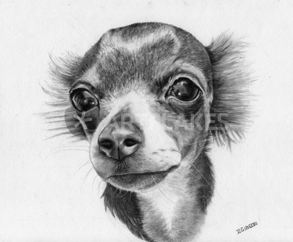 """""""chihuahua"""" Drawing Art Prints And Posters By Dawn Gibson"""