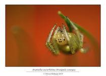 Araniella cucurbitina (Araignée courge) by Olivier Roberjot