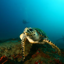 Turtle posing on the reef by Justin Barker