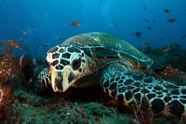 Turtle  on reef by Justin Barker