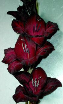 Gladiole schwarz rot von Simone Cuambe