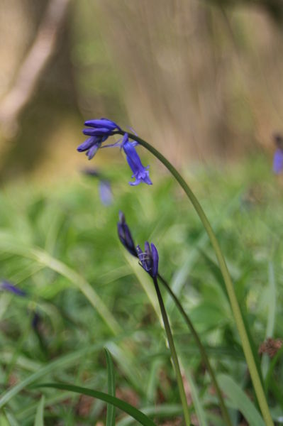 Blue-bell-chiming-by-remotehacer