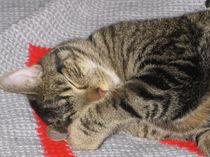 Gouda cat von Ileana Righetti