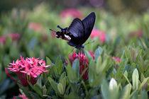 Thai butterfly by Arquimides Espiritu