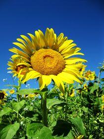 'Sonnenblume' von Atelier Ziehr