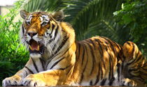 A tiger by Evren Kalinbacak