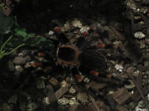 Tarantula Terror by Ileana Righetti