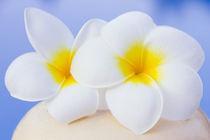 Frangipani flowers von Alex Bramwell
