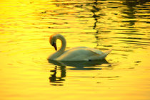 Swan on gold  von Andrea Capano