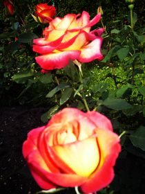 Roses by Emilia Mocan