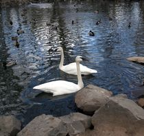 Swan Lake by cjwesselsphotography
