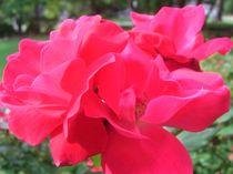 K.O. Roses by isabella-renee