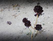 Black rose  by Hristina  Balabanova