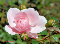 Erblühte Rose mit Knospen von Udo Schiffgen