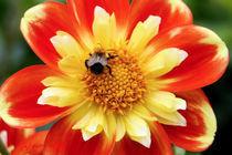 Dahlie mit Biene von Udo Schiffgen
