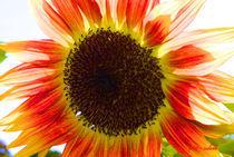 Sonnenblume von Udo Schiffgen