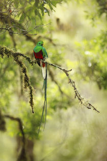 resplendent quetzal von Gregory Basco