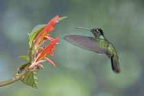 magnificent hummingbird von Gregory Basco