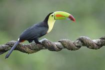 Keel-billed toucan von Gregory Basco