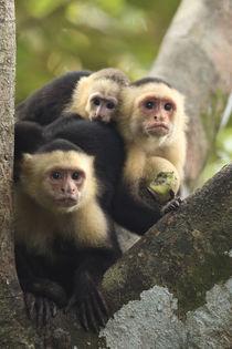 monkey family portrait von Gregory Basco
