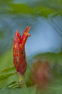 Costus flower by Gregory Basco