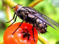 Fliege von Roland H. Palm