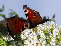 Schmetterlinge  von Simone Cuambe