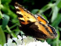 Schmetterling makro Schmetterling , Blüte mit Schmetterling Nektar von Simone Cuambe