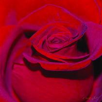 Rose-001