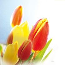 Tulpen-002