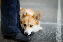 Jessie the lovable Corgi von poi