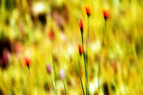 Sommerwiese - gelb - dekorativ von Jens Berger