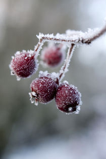 Frozen Berries von George Kay
