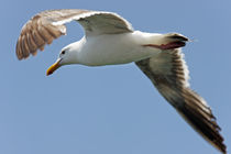 Seagull Overhead by Eye in Hand Gallery