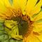 Sonnenblume-mit-biene