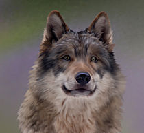Wolf Portrait von Beatrix Döring