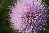 Purple Puff von Carrie Penrod