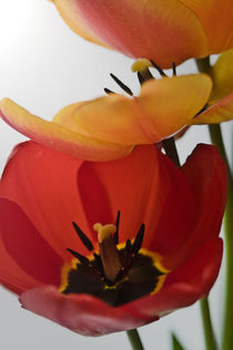 red and yellow tulips by Robert  Perks