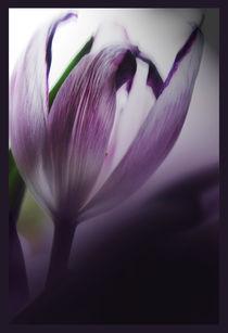 Dried purple tulip by Robert  Perks