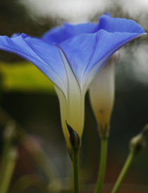 Blue morning glory by Robert  Perks