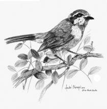 Olive Bush Shrike by Andre Olwage