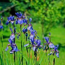 Iris Sibrica von Tanel Teemusk
